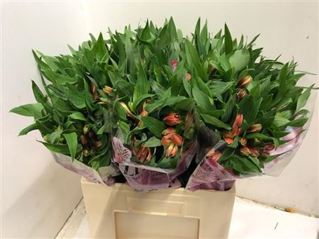 ALSTROEMERIA PARTY 60