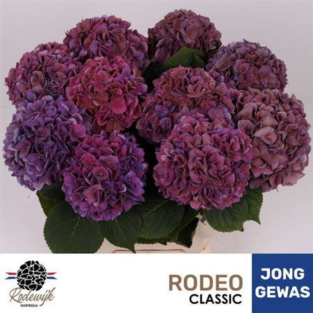 HORT. RODEO CL LILA 60