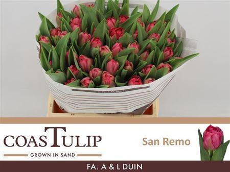 TULIPE SAN REMO 36
