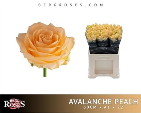 ROSE AVALANCHE PEACH 60