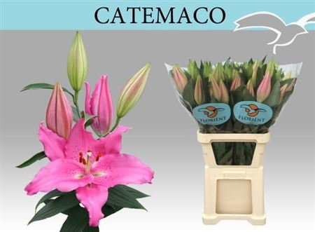 LYS OR CATEMACO 105 3 F+