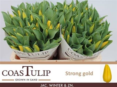 TULIPE STRONG GOLD 42
