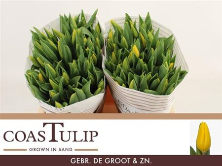 TULIPE STRONG GOLD 41