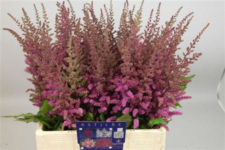 ASTILBE MAGGIE DALEY 65