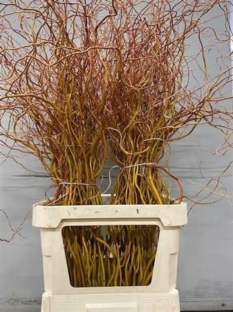 SALIX GOLDEN CURLS 120