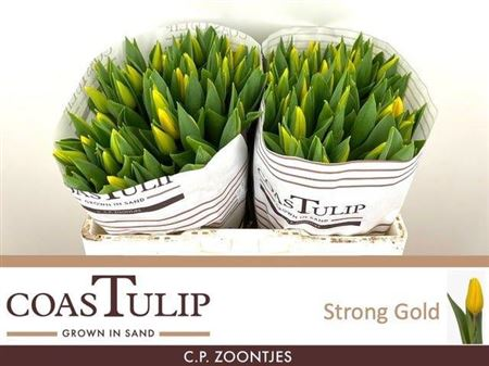 TULIPE STRONG GOLD 39