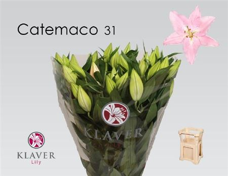 LYS OR CATEMACO 90 3 F+