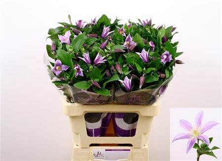 CLEMATITE STAR RIVER 60