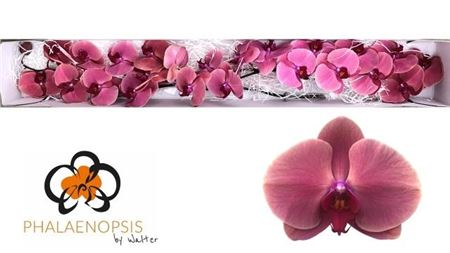 ORCHID. PHAL ROSE 50