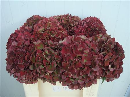 HORT. RUBY RED CL 50